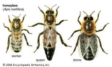 Three different types of bee in a colony.